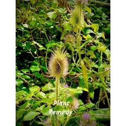 Arum Triphyllum